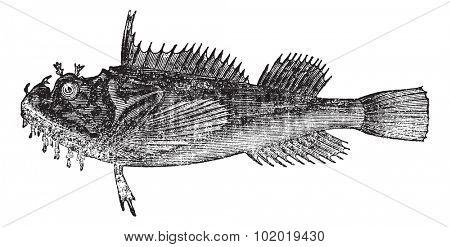 Common sea raven (Hemitripterus acadianus) vintage engraving. Sea raven isolated on white.  Trousset encyclopedia (1886 - 1891)