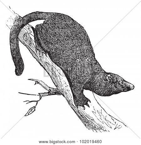 Fisher or Martes pennanti, Mustela pennantii, Mustela canadensis, Mustela melanorhyncha, Viverra piscator or Mustela piscatoria, vintage engraving.  Trousset encyclopedia (1886 - 1891)
