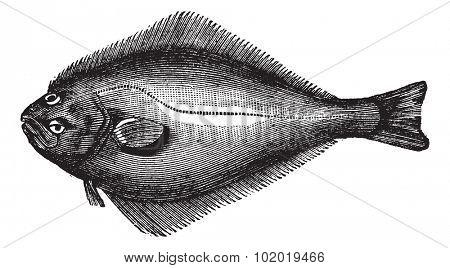 Atlantic Halibut or Hippoglossus hippoglossus, vintage engraving. Old engraved illustration of an Atlantic Halibut.  Trousset encyclopedia (1886 - 1891)