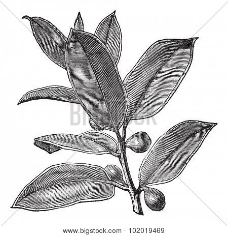 Rubber Plant or Rubber Fig or Rubber Bush or Indian Rubber Bush or Ficus elastica, vintage engraving. Old engraved illustration of a Rubber Plant showing fruits.  Trousset encyclopedia (1886 - 1891)