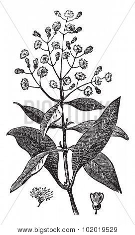 Allspice or Jamaica Pepper or Kurundu or Myrtle Pepper or Pimenta or Newspice or Pimenta dioica, vintage engraving.An Allspice showing flowers and berry (lower right).Trousset encyclopedia (1886-1891)