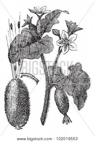 Squirting Cucumber or Exploding Cucumber or Ecballium elaterium, vintage engraving, showing flowers (top) and seeds squirting out of a ripened fruit (left).  Trousset encyclopedia (1886 - 1891)