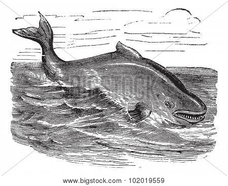 Harbour porpoise or Phocoena phocoena or Common porpoise, vintage engraving. Old engraved illustration of Harbour porpoise swimming in the ocean.  Trousset encyclopedia (1886 - 1891)