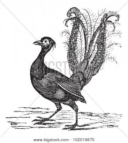 Superb Lyrebird or Menura novaehollandiae or Menura superba, vintage engraving. Old engraved illustration of Superb Lyrebird. Trousset encyclopedia (1886 - 1891)