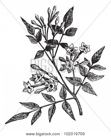 Common Jasmine or Jasminum officinale or Poet's Jasmine or Jessamine, vintage engraving. Old engraved illustration of Common Jasmine isolated on a white background. Trousset encyclopedia (1886 - 1891)