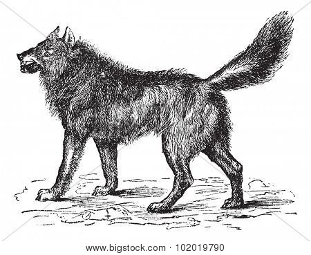 Eurasian Wolf, Canis lupus lupus, European, Common or Forest Wolf or Altaicus or lycaon or Grey wolf, vintage engraving. Old engraved illustration of Eurasian Wolf. Trousset encyclopedia (1886 - 1891)