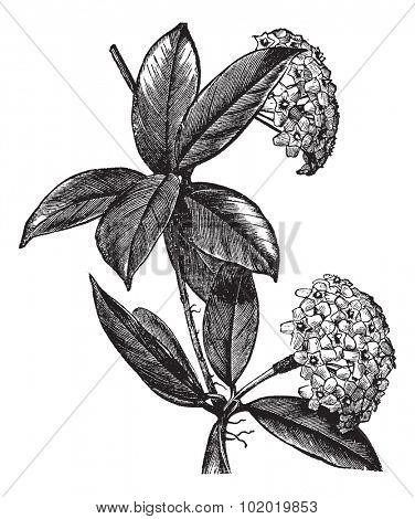 Hoya carnosa or wax plant, vintage engraving. Old engraved illustration of Hoya carnosa, isolated on a white background. Trousset encyclopedia (1886 - 1891)