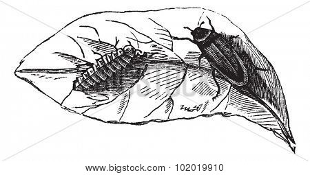Glow worm (Lampyris Noctiluca) on leaf vintage engraving. Old engraved illustration of glow worms on leaf.  Trousset encyclopedia (1886 - 1891).