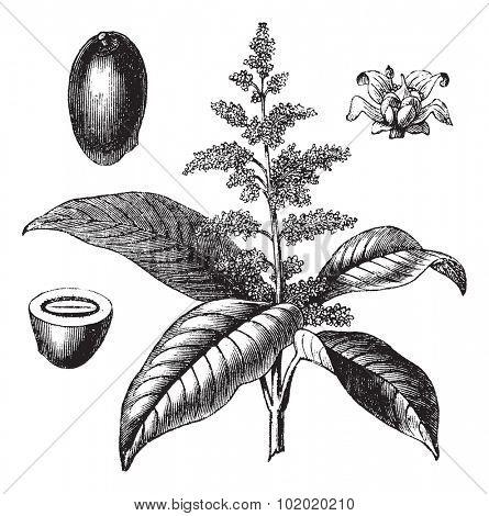Indian mango or Mangifera indica or Common mango, vintage engraving. Old engraved illustration of Indian mango with flower isolated on a white background. Trousset encyclopedia (1886 - 1891).