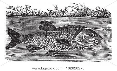 Leuciscus cephalus or European chub or Round chub or Fat chub or chevin or pollard, vintage engraved illustration. Trousset encyclopedia (1886 - 1891).