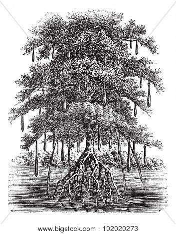 Mangrove or Mangal or Mangrove swamp or Mangrove forest, vintage engraving. Old engraved illustration of Mangrove tree in the water. Trousset encyclopedia (1886 - 1891).