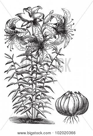 Gilded lily (Lilium auratum), vintage engraved illustration. Trousset encyclopedia (1886 - 1891).