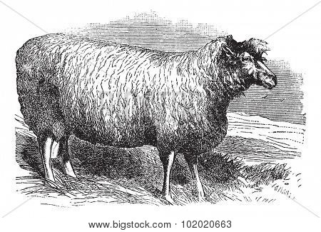 Leicester sheep or Bakewell Leicester or Dishley Leicester or Improved Leicester or Leicester Longwool or English Leicester, vintage engraved illustration. Trousset encyclopedia (1886 - 1891).