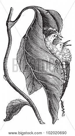 Baya Weaver or Ploceus philippinus, vintage engraved illustration. Trousset encyclopedia (1886 - 1891).