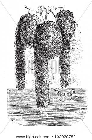 Nelicourvi Weaver or Ploceus nelicourvi, vintage engraved illustration. Trousset encyclopedia (1886 - 1891).