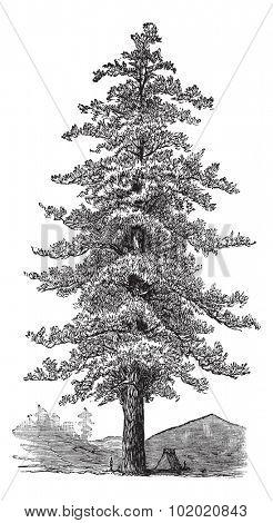American yellow pine (Pinus ponderosa) or Ponderosa Pine or Bull Pine or Blackjack Pine or Western Yellow Pine,vintage engraved illustration. Trousset encyclopedia (1886 - 1891).
