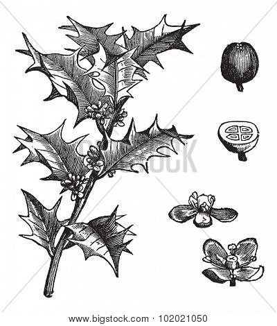Holly or Ilex aquifolium or European holly or Christmas holly or Mexican holly, vintage engraving. Leaves and fruit isolated on a white background.  Trousset encyclopedia (1886 - 1891).