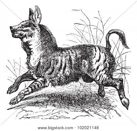 Striped Hyena or Hyaena hyaena, vintage engraving. Old engraved illustration of Striped Hyena, running in the meadow.  Trousset encyclopedia (1886 - 1891).