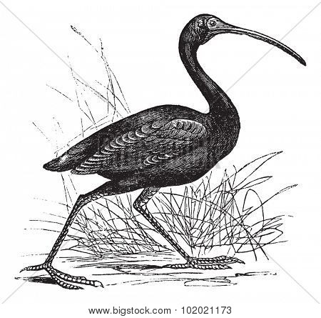 Scarlet Ibis or Eudocimus ruber, vintage engraving. Old engraved illustration of Scarlet Ibis, walking in the meadow.  Trousset encyclopedia (1886 - 1891).