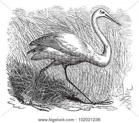 Whooping cranes (Grus Americana) vintage engraving.Old engraved illustration of a beautiful north american whooping crane. Trousset encyclopedia (1886 - 1891).