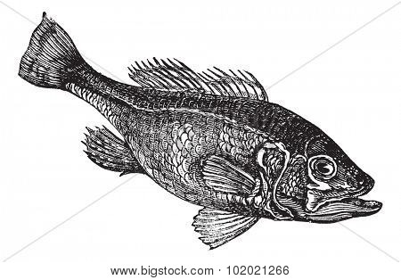 Largemouth bass (Micropterus salmoides) or widemouth bass or bigmouth or black bass or bucketmouth vintage engraving. Old engraved illustration.. Trousset encyclopedia (1886 - 1891).