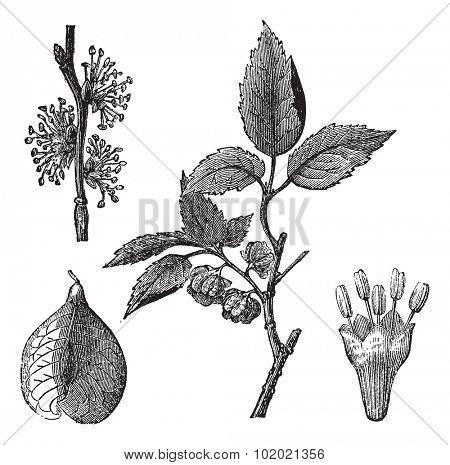 Elm or Ulmus campestris, vintage engraved illustration. Trousset encyclopedia (1886 - 1891).