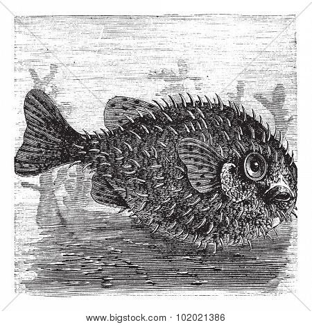 Long-spine Porcupine Fish or Spiny Balloon Fish or Diodon holocanthus, vintage engraving. Old engraved illustration of a Long-spine Porcupine Fish. Trousset encyclopedia (1886 - 1891).