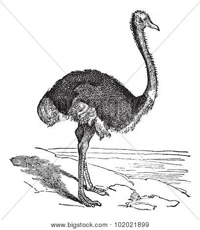 The Ostrich or Struthio camelus. Vintage engraving. Old engraved illustration of an Ostrich. A large flightless bird native to Africa. Trousset encyclopedia (1886 - 1891).