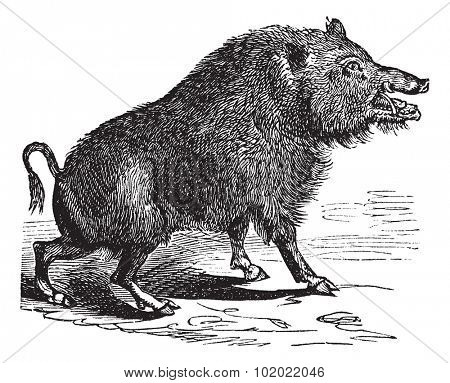 Wild boar or Sus scrofa or Wild pig or Wild hog or Razorback or Boar or European Boar, vintage engraving. Old engraved illustration of Wild boar. Trousset encyclopedia (1886 - 1891).