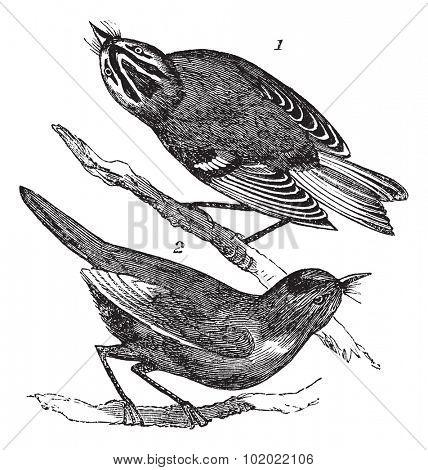 Old engraving or illustration of Golden-crowned Kinglet (1) and Ruby-crowned Kinglet  or Regulus calendula (2) waiting on a branch. Trousset encyclopedia (1886 - 1891).