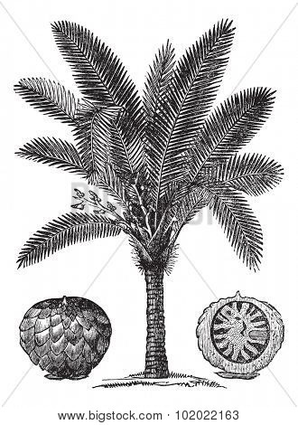 Sago Palm or Metroxylon sagu, vintage engraving. Old engraved illustration of Sago Palm. Trousset encyclopedia (1886 - 1891).