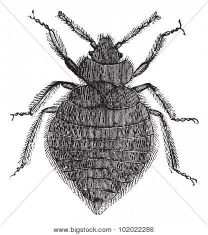 Bed bugs (Cimex lectularius) or Cimicidae, vintage engraved illustration. Bedbug isolated on white. Trousset encyclopedia (1886 - 1891).