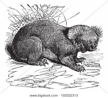 Koala or Phascolarctos cinereus, vintage engraving. Old engraved illustration of Koala. Trousset encyclopedia (1886 - 1891).