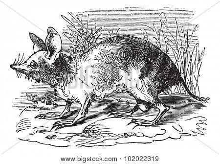 Eastern Barred Bandicoot or Perameles gunni, vintage engraving. Old engraved illustration of Eastern Barred Bandicoot in the meadow. Trousset encyclopedia (1886 - 1891).