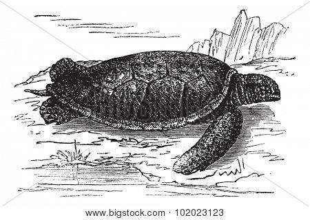 Green Sea Turtle or Chelonia mydas, vintage engraved illustration. Trousset encyclopedia (1886 - 1891).