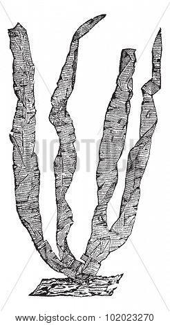 Seaweed or Porphyra sp., vintage engraved illustration. Trousset encyclopedia (1886 - 1891).