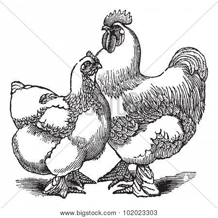 Hen and rooster of Cochin or Cochin China (chicken), vintage engraving. Old engraved illustration of Hen and rooster. Trousset encyclopedia (1886 - 1891).