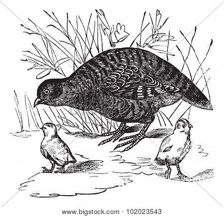 Grey Partridge or Perdix perdix, vintage engraved illustration. Trousset encyclopedia (1886 - 1891).