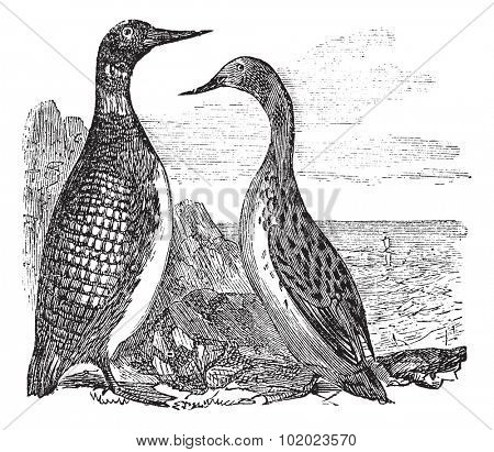 Great Northern Loon or Great Northern Diver or Common Loon or Gavia immer, vintage engraved illustration. Trousset encyclopedia (1886 - 1891).