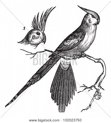 Cockatiel or Quarrion or Weiro or Nymphicus hollandicus, vintage engraved illustration. Trousset encyclopedia (1886 - 1891).