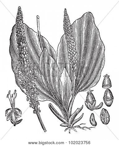 Greater Plantain or Plantago major, vintage engraved illustration, showing flower (left and center) and seeds (right). Trousset encyclopedia (1886 - 1891).