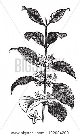 Buckthorn or Rhamnus cathartica, vintage engraved illustration. Trousset encyclopedia (1886 - 1891).