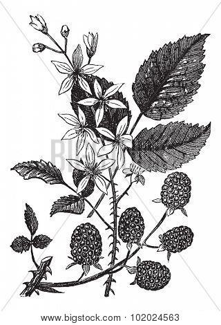 Blackberry or Rubus villosus or Bramble, vintage engraving. Old engraved illustration of Blackberry isolated on a white background. Trousset encyclopedia (1886 - 1891).
