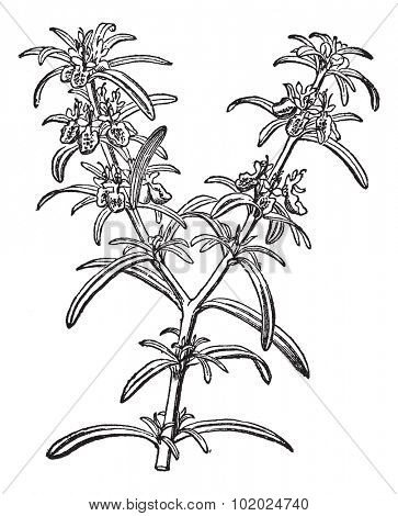 Rosemary or Rosmarinus officinalis, vintage engraving. Old engraved illustration of Rosemary isolated on a white background.  Trousset encyclopedia (1886 - 1891).