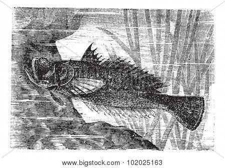 Stargazer or Uranoscopus sp., vintage engraved illustration. Trousset encyclopedia (1886 - 1891).