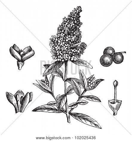 Wild Privet or Common Privet or European Privet or Ligustrum vulgare, vintage engraved illustration. Trousset encyclopedia (1886 - 1891).