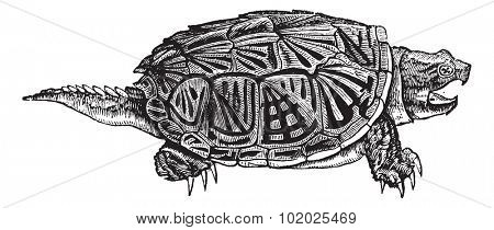 Snapping Turtle (Chelydra serpentina), vintage engraved illustration. Snapping Turtle isolated on white background. Trousset encyclopedia (1886 - 1891).