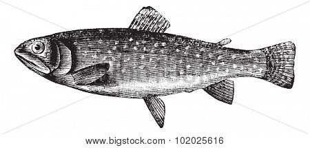 Brown Trout or Salmo trutta, vintage engraved illustration. Trousset encyclopedia (1886 - 1891).