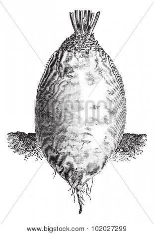 Old engraved illustration of the ovoid shape Yellow Beet or Beta vulgaris. Industrial encyclopedia E.-O. Lami - 1875.