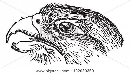 Rapacious Falcon headed, vintage engraved illustration. Dictionary of words and things - Larive and Fleury - 1895.